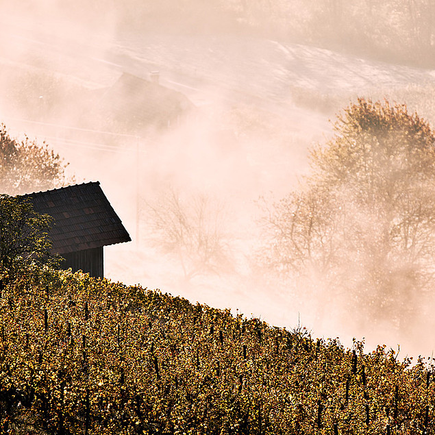 Vineyard in the mist and at sunrise. - Mystical!