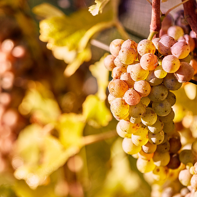 Closeup of ripe grapes in autumn