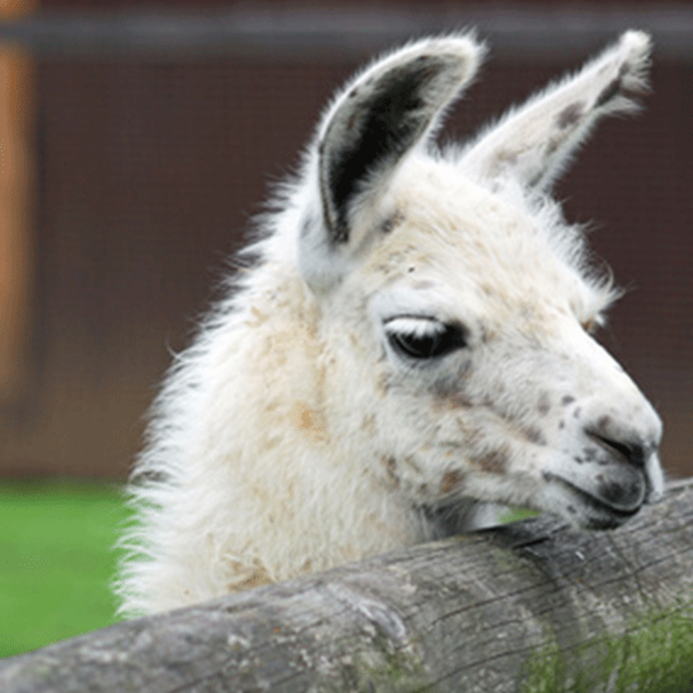 White alpaca with dreamy look